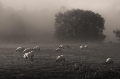 field of sheep picture
