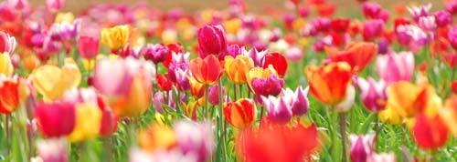 tulip canvas art