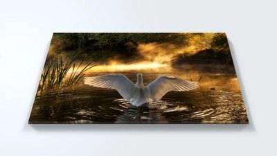 Swan acrylic wall print