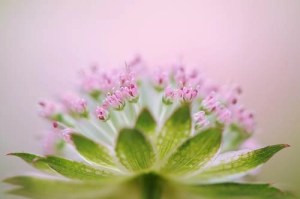 Astrantia Arc