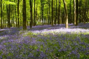 I Dream of Bluebells