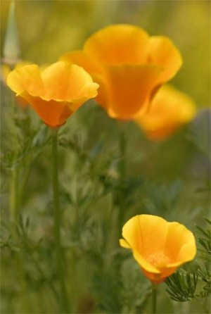 Californian Poppies
