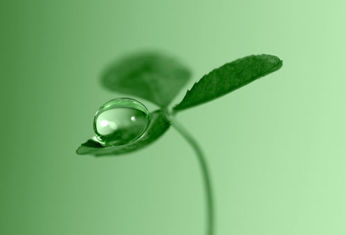 Clover Dew Drop