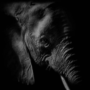 The Old Elephant