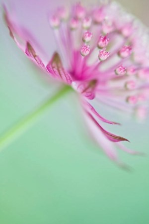 Soft on Astrantia by Jacky Parker