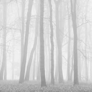 Beeches in Mist