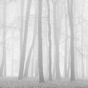 Beeches in Mist