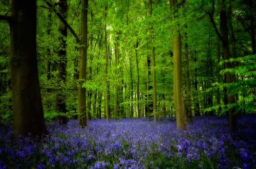 Bluebell Wood Pictures – Art in Nature