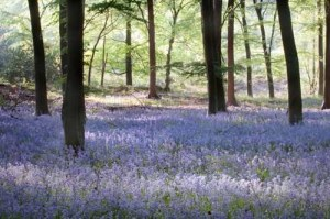 Sea of Bluebells