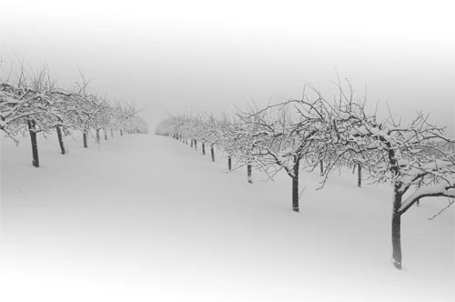 The Snow Orchard