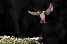 Coming into land, puffin landing at the Wick. Nikon D4, 300mm, ISO 1000, 1/1250 sec at f/4.5. © Andrew Marshall
