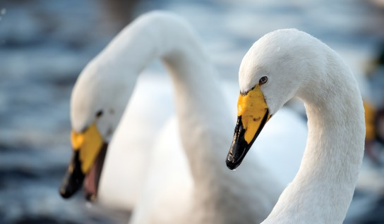 Whooper swan argument. Nikon D4, 500mm, ISO 1600, 1/640 sec at f/6.3. © Andrew Marshall