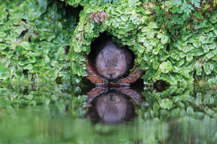 Vole in the hole. Nikon D4, 500mm, ISO 2500, 1/640 sec at f/4.5. © Andrew Marshall