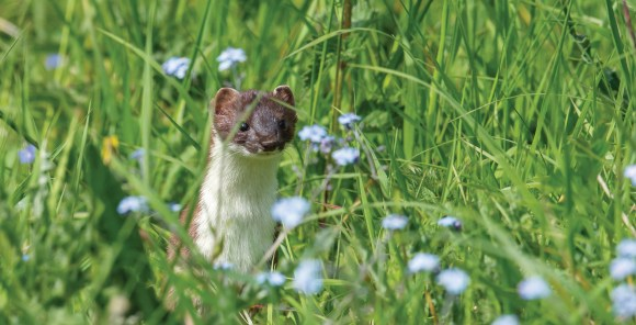 Stoat in the forget-me-nots at Mount Grace Priory. Nikon D4, 500mm, ISO 800, 1/1250 sec at f/8. © Andrew Marshall
