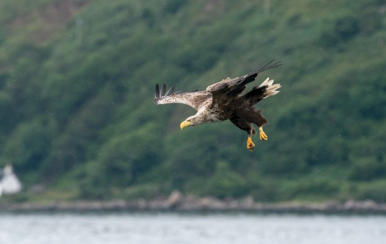 Sea eagle swooping against the coastal backdrop. Nikon D4, 300mm + 2 x converter at 600mm, ISO 1600, 1/2500 sec at f/5.6. © Andrew Marshall