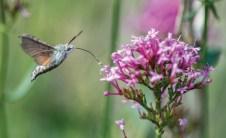 Hummingbird hawk moth taking nectar from valerian flowers. Nikon D4, 300mm + 2 x conv at 600mm, ISO 2500, 1/1600 sec at f/6.3. © Andrew Marshall