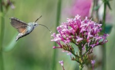 Hummingbird hawk moth taking nectar from valerian flowers. Nikon D4, 300mm + 2 x conv at 600mm, ISO 2500, 1/1600 sec at f/6.3. © Andrew Marshall