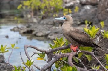 Pink footed booby in Darwin Bay, Genovese Island, Galapagos