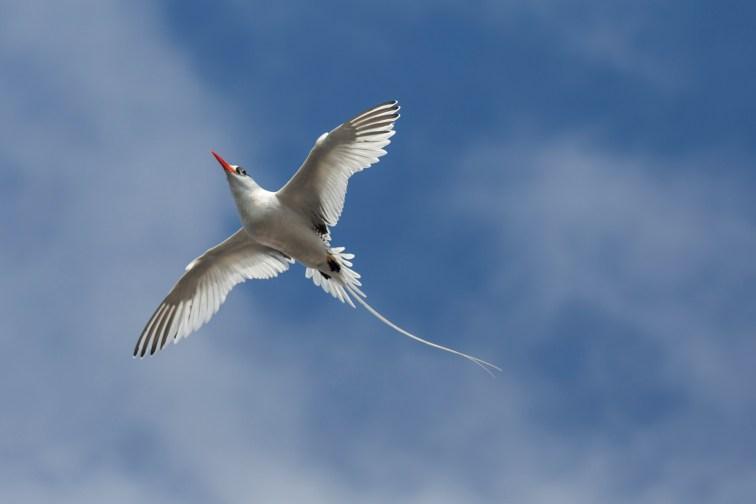 Tropic bird on Genovese Island
