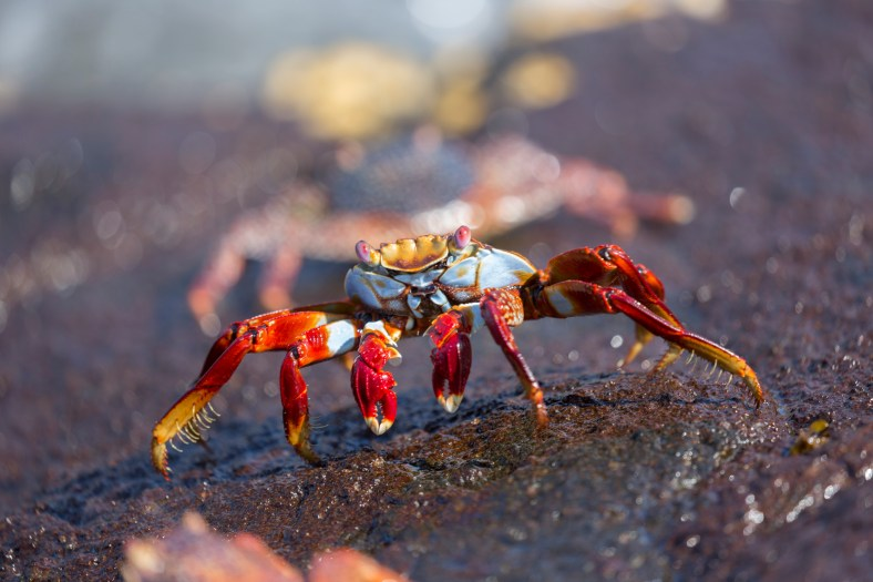 The commonly seen Sally Lightfoot crab.