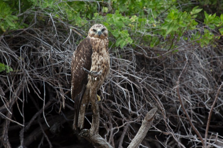 Wild Galapagos hawk – totally unperturbed by our presence.
