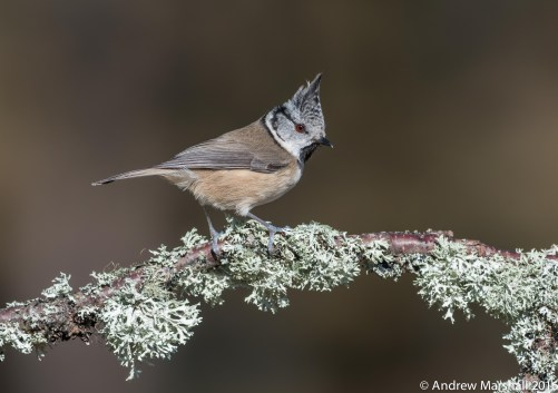 Crested tit in the Caledonian pine forests. Nikon D800E with a Nikkor 300mm f/2.8 lens and a 2 x teleconverter at 600mm, ISO 400, 1/800sec at f/9. © Andrew Marshall.