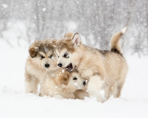 Malamute Puppies in the Snow. Canon 1DX, Canon 70-300mm f/4-5.6 L at 229mm, ISO 800, 1/1250s at f/10. April 2015 © Oliver C Wright