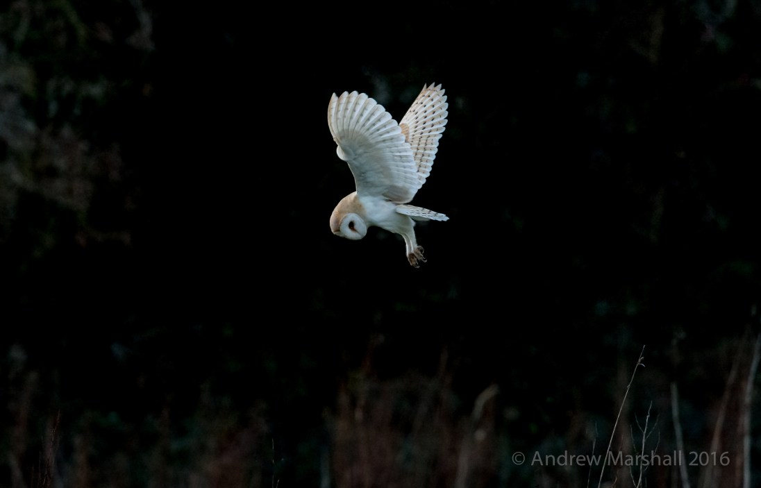 Barn owl in the Costwolds. Nikon D4, Nikkor 500mm f/4 and a 1.4 convertor at 700mm, ISO 12800, 1/800s at /f.8 Hand Held. February. © Andrew Marshall.