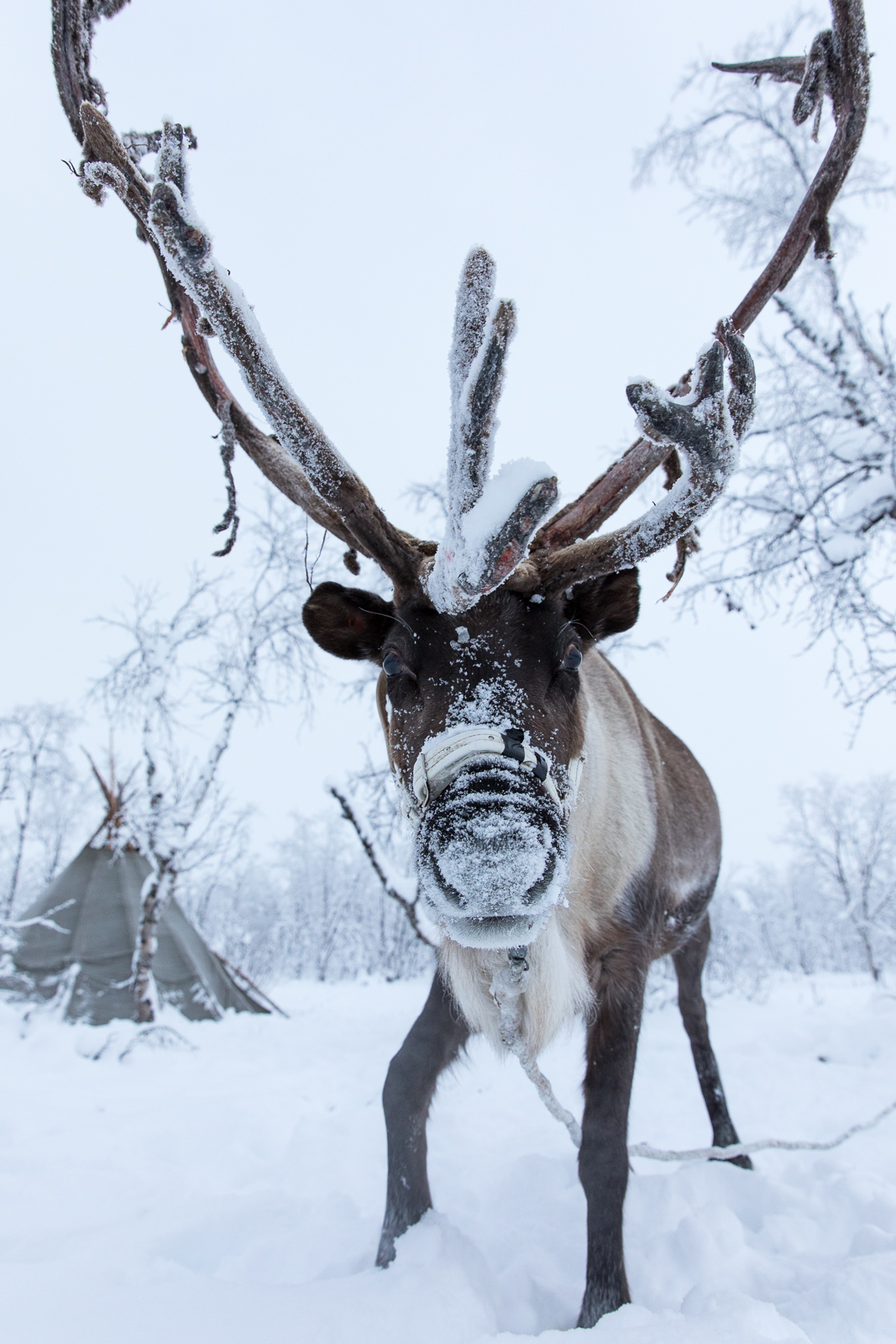 Reindeer and Lavvu. Canon 5D IV 24-70mm f/2.8 L II at 24mm, ISO 1600, 1/100s at f/5.6. November 2016. © Oliver C Wright