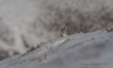 On the lookout a mountain hare peers over the ridge in the snowy highlands. Nikon D4, Nikkor 500mm f/4 + 1.4 converter at 700mm, ISO 100, 1/1000s at f/8, Tripod. March. © Andrew Marshall.