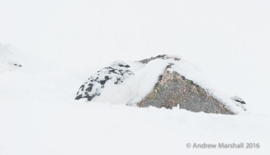 Three winter ptarmigan super camouflaged in a white out on Cairngorm mountain. Nikon D800E, Nikkor 500mm f/4 + 1.4 converter at 700mm, ISO 1800, 1/1250s at f/9, Tripod. March. © Andrew Marshall.