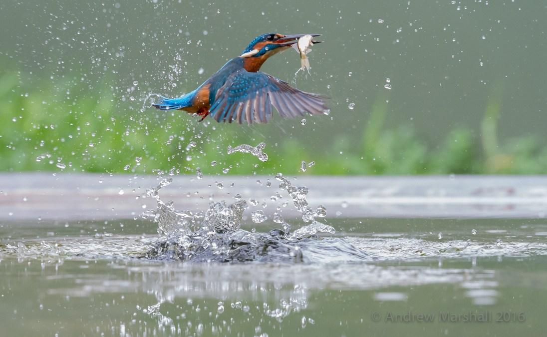 Diving kingfisher in September. Nikon D4, Nikkor 70-200mm f/4 at 120mm, ISO 5000, 1/2500s at f/7.1, Tripod. September. © Andrew Marshall.