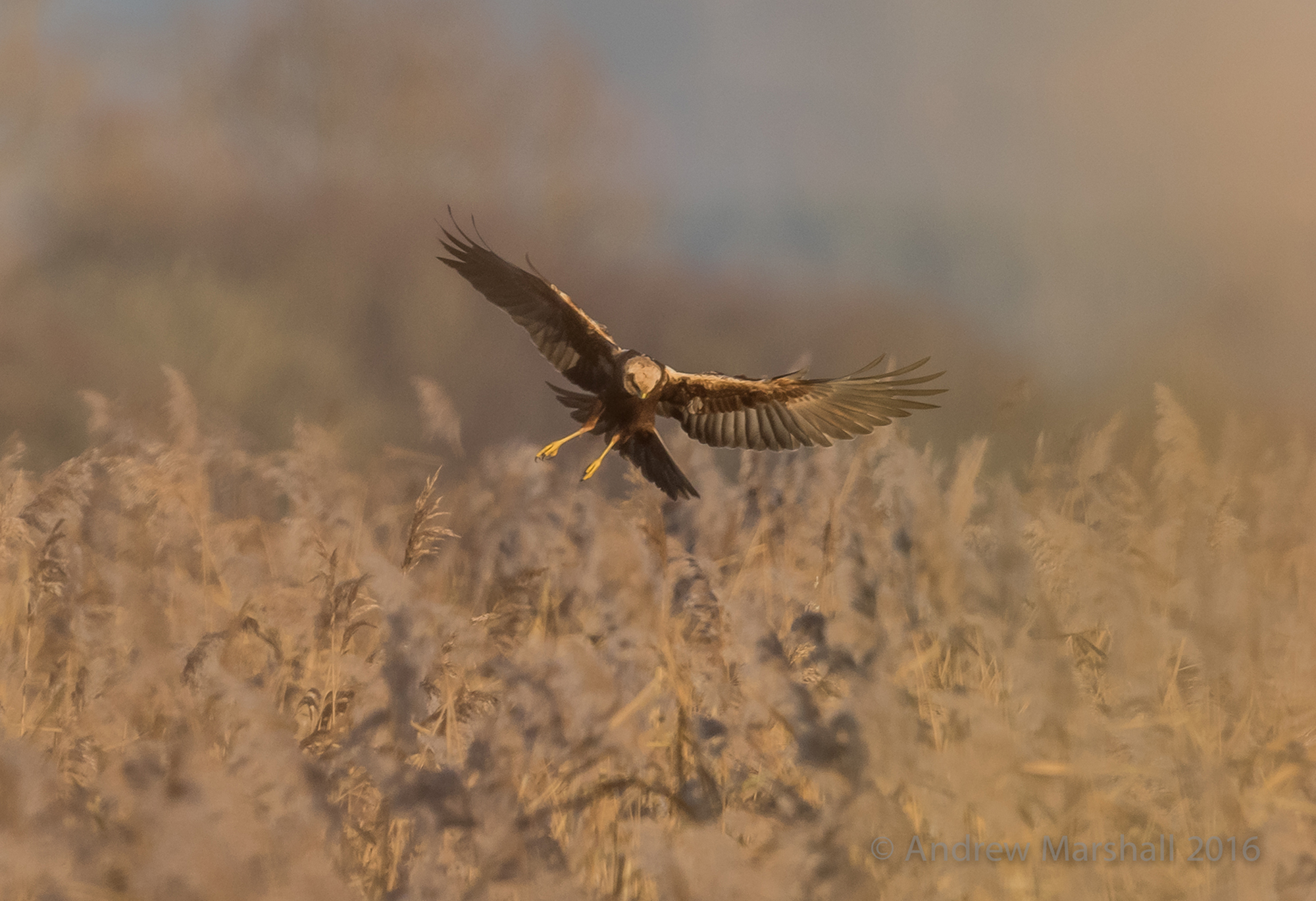 One of the spectacular marsh harriers that have bred for the first time at RSPB Otmoor in Oxfordshire. Nikon D800E, Nikkor 500mm f/4 with a 1.4 x converter at 700mm, ISO 720, 1/1250s at f/8. Handheld. © Andrew Marshall.
