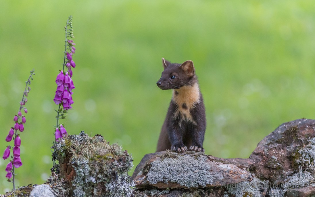 Pine marten in Scotland. Nikon D4, Nikkor 300mm, f/2.8 at 300mm, ISO 6400, 1/160s at f/2.8. Tripod. July. © Andrew Marshall.