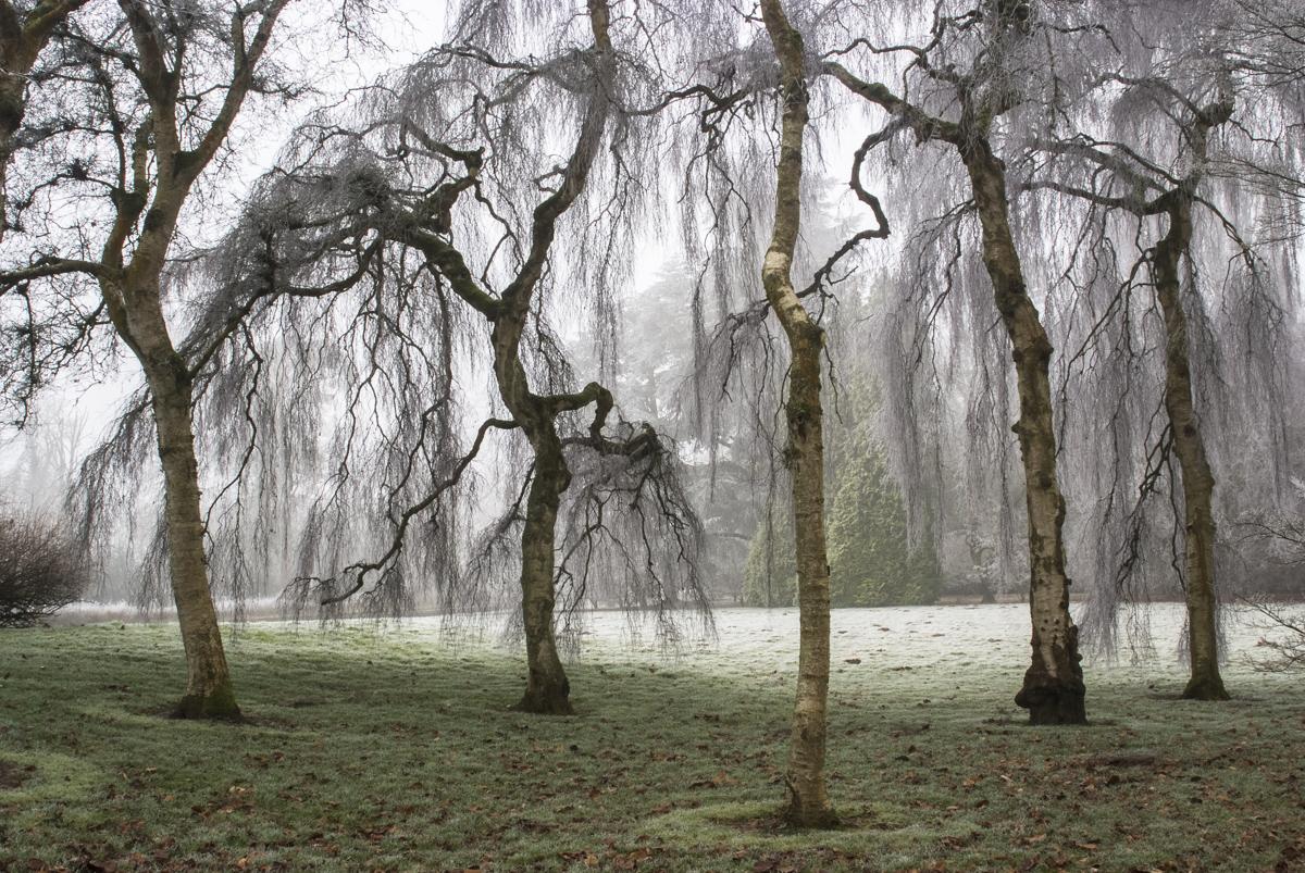 Weeping Birch, Westonbirt Arboretum. Nikon D700, 28-105mm at 28mm. 1/4s at f/16 Tripod. January © Sarah Howard