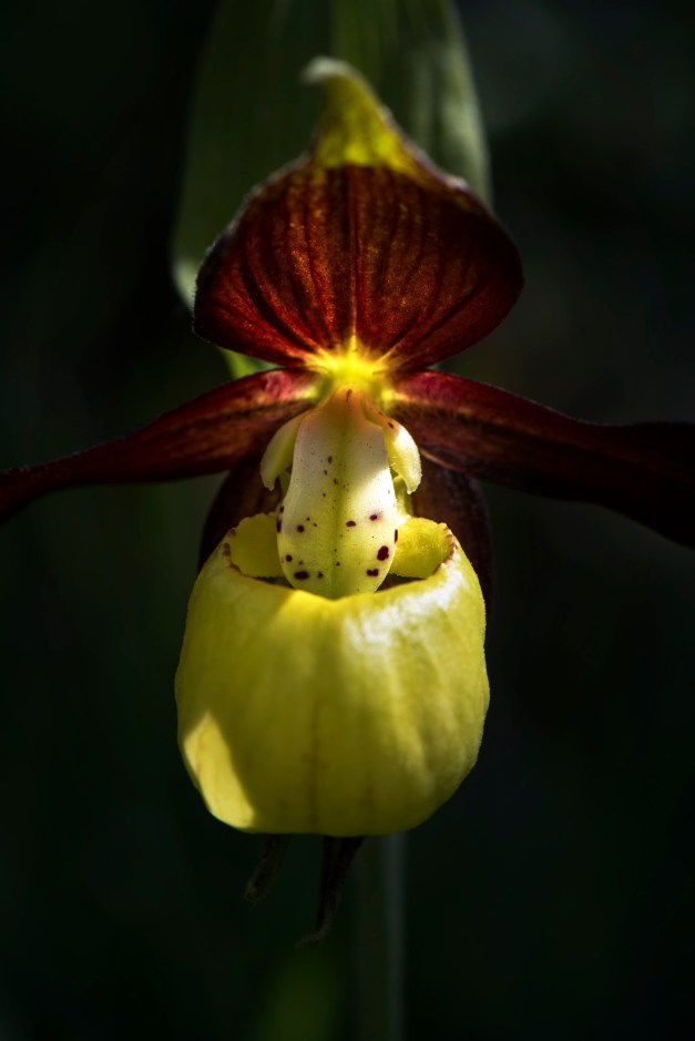 The rare and much-coveted Lady Slipper Orchid (Cypripedium calceolus). Nikon D810, 105mm, ISO 100, 1/160s at f/16, tripod, May. © James Rushforth.