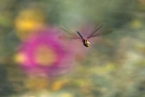 During September dragon flies can be found along the banks of Lago Antorno. Nikon D810, 80-400 at 400mm, ISO 220, 1/1000s at f/7.1, September. ©James Rushforth