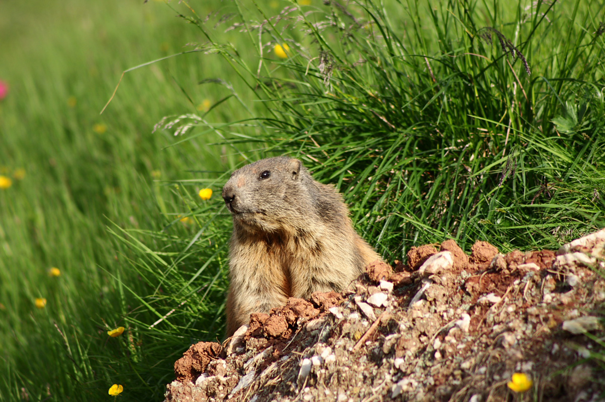 Marmots are a common sight at Cinque Torri and due to the number of tourists they are very tame (and cheeky!). Nikon D810, 80-400mm at 300mm, ISO 200, 1/320s at f/5.6. July. ©James Rushforth