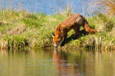 Clattinger Farm Location 6 (April) UK16-224 Red fox (Vulpes vulpes), Lower Moor Farm, Wiltshire