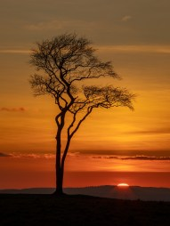 UK19-625 Beech tree at sunset, Roundway Down, Wiltshire