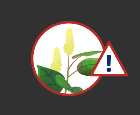 Japanese Knotweed: Top Weed for Home Damage in Missouri