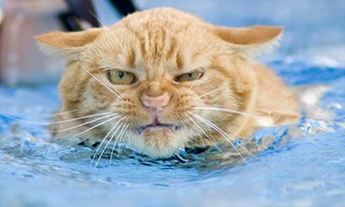 Cat Swimming In Pool | Angry Expression