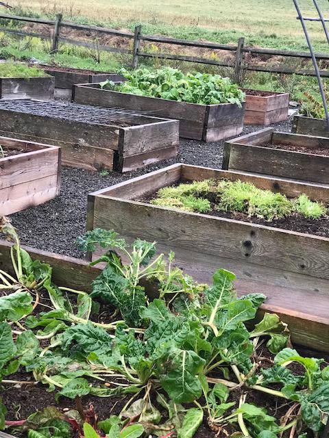 Beekman 1802 Lettuce growing in wooden boxes
