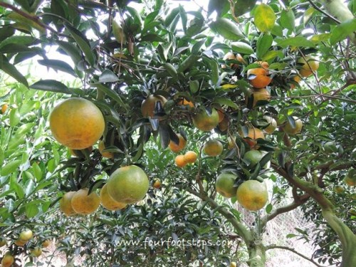 tw-liyuan-madarin-oranges.jpg