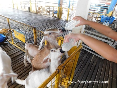 kluang_UK_farm_animal_feeding_2.jpg