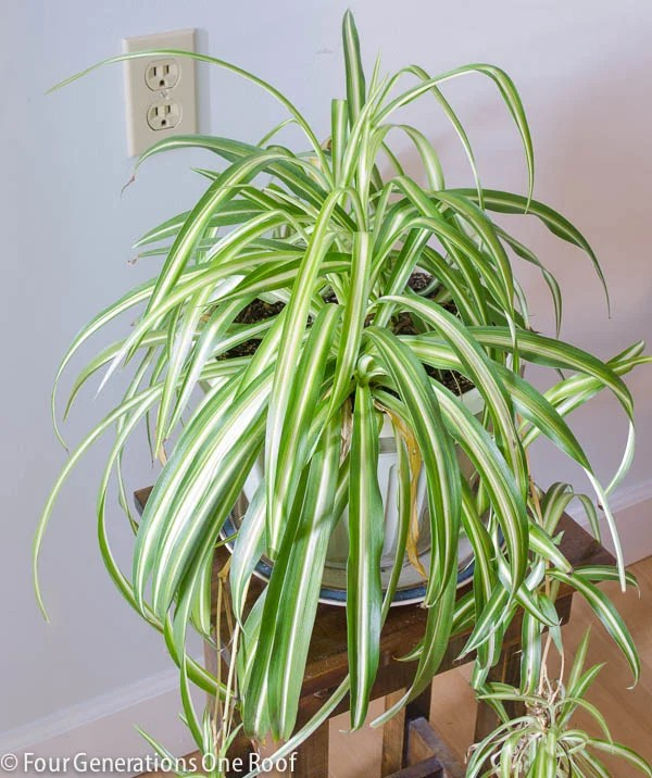 spider plant on a wood stool with white plate