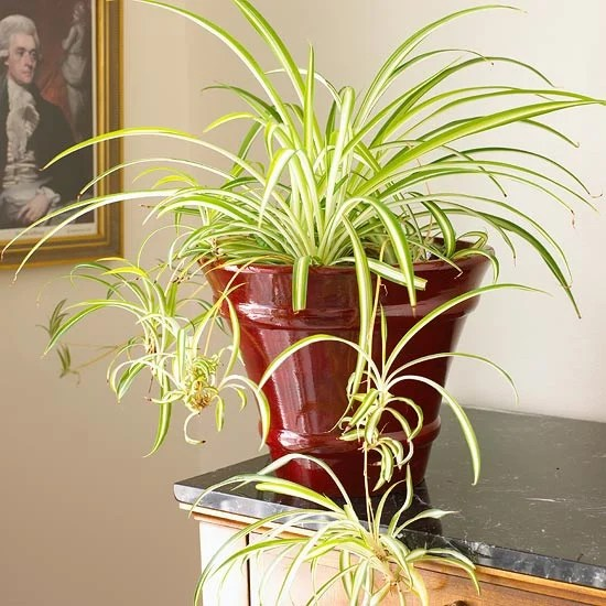 spider plant in red planter indoors on a black top table