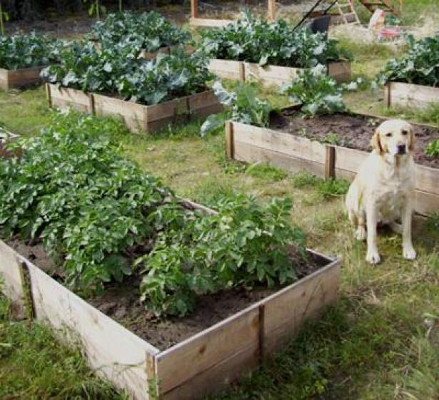 Grow a Vegetable Garden in containers Easy-Cedar-Raised-Garden-Beds with yellow lab