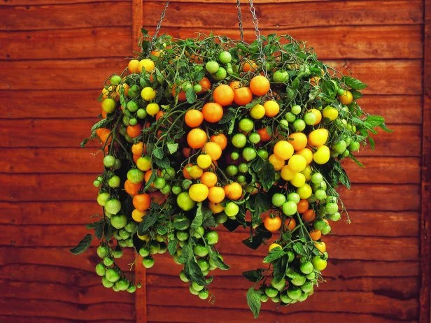 hanging container-garden-red green and yellow tomatoes