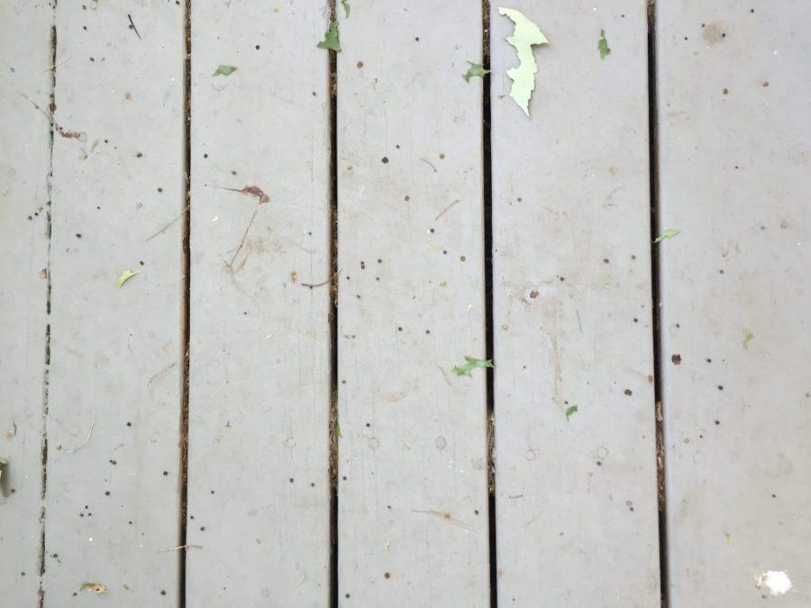 gypsy moth caterpillar invasion